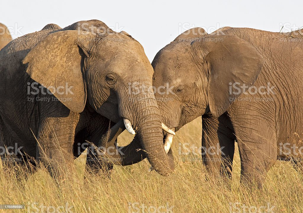 Elephants sharing food stock photo