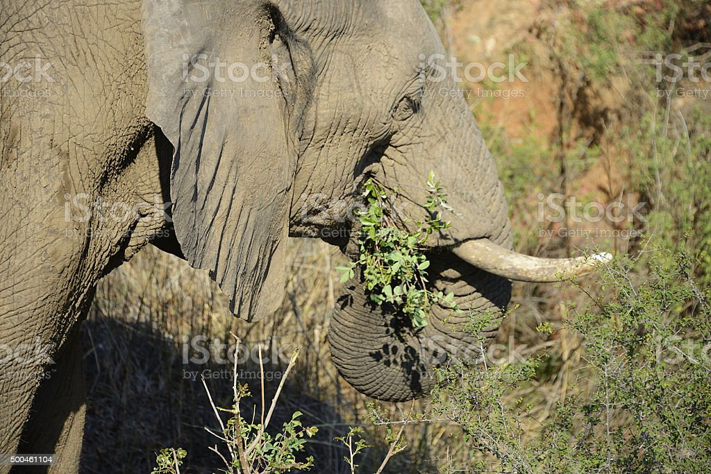 Elephants, South Africa stock photo