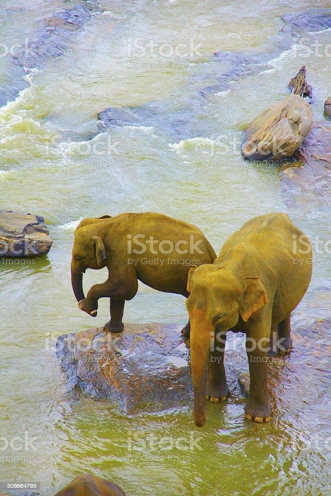 Éléphants Sri Lanka photo libre de droits