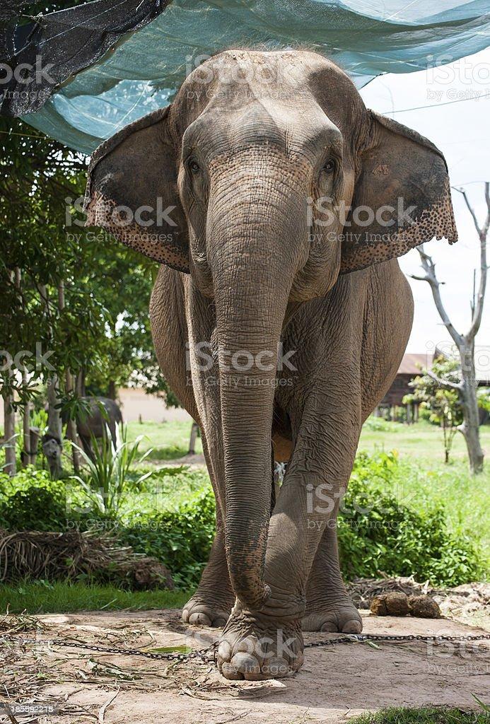 elephants study center,surin Thailand royalty-free stock photo