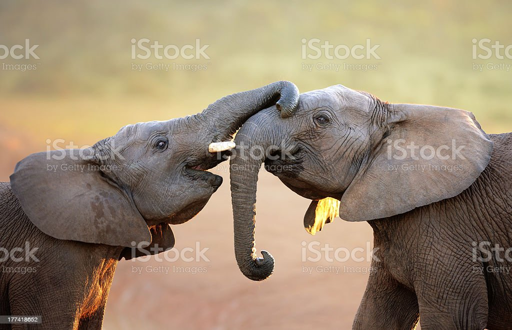 Elephants touching each other gently (greeting) stock photo