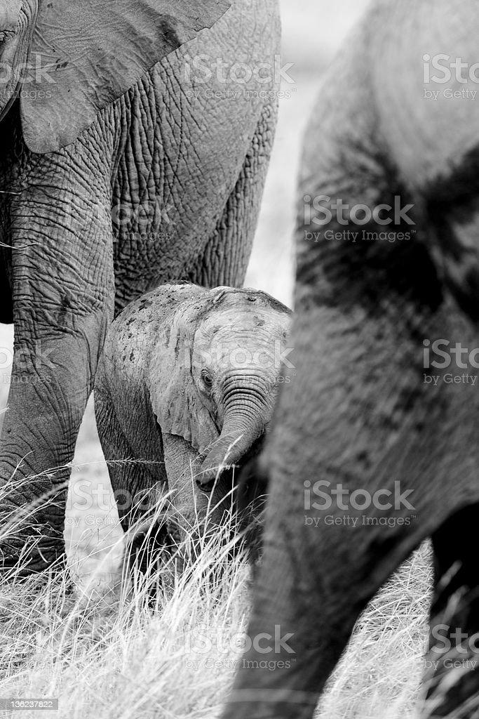 Traversez les éléphants de Masaï Mara photo libre de droits