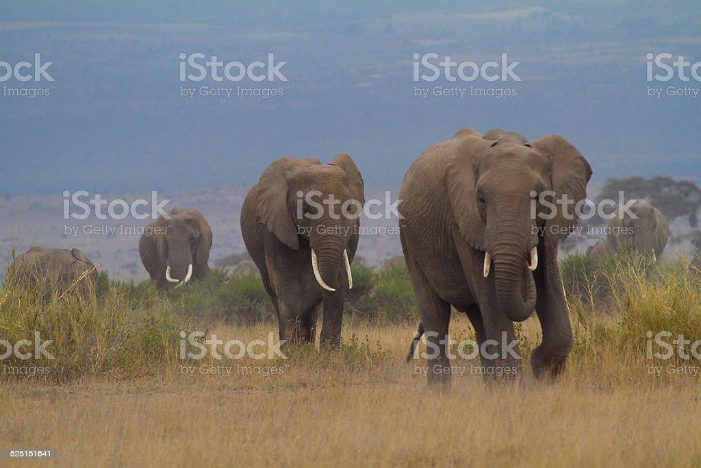 Elephants Walk in Amboseli stock photo