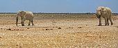 Elephants walking across the Etosha Pan, Namibia