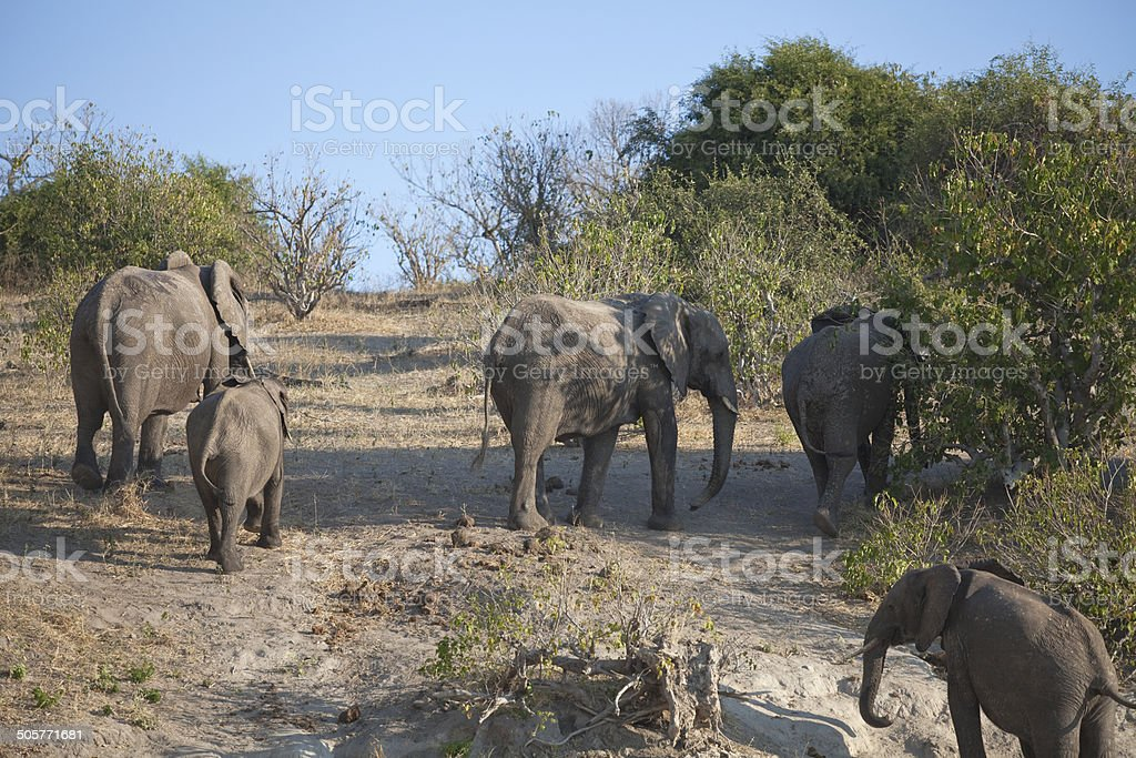 Elephants walking from water royalty-free stock photo