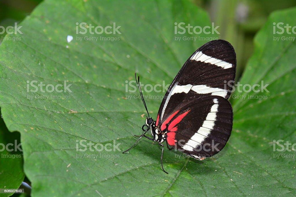 Eleuchia longwing butterfly stock photo