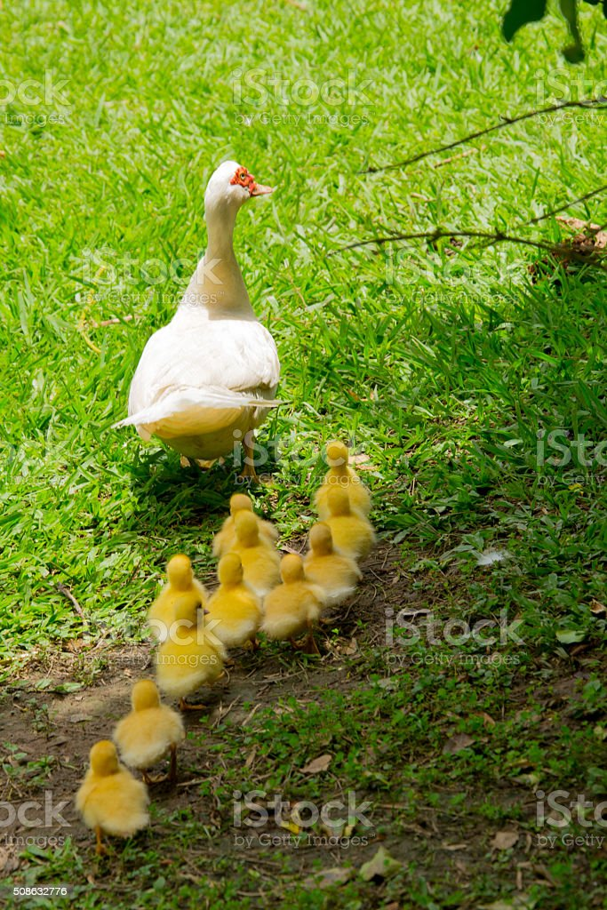eleven duck chicks following the mommy stock photo