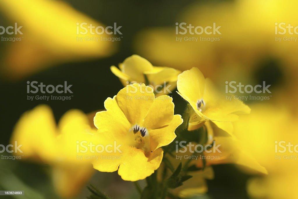 Eleven mirror flower stock photo