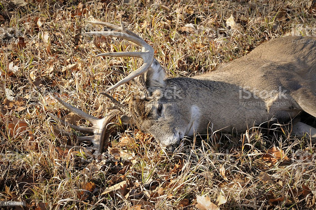 eleven point whitetail buck royalty-free stock photo