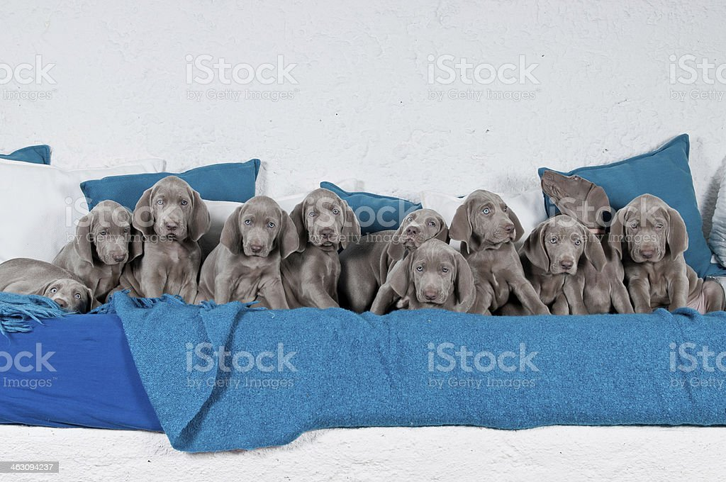 Eleven Weimaraner Welpen stock photo