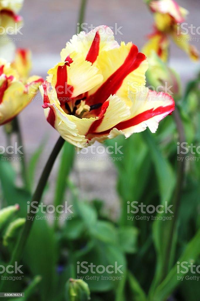 Elite tulips in spring, Italy stock photo