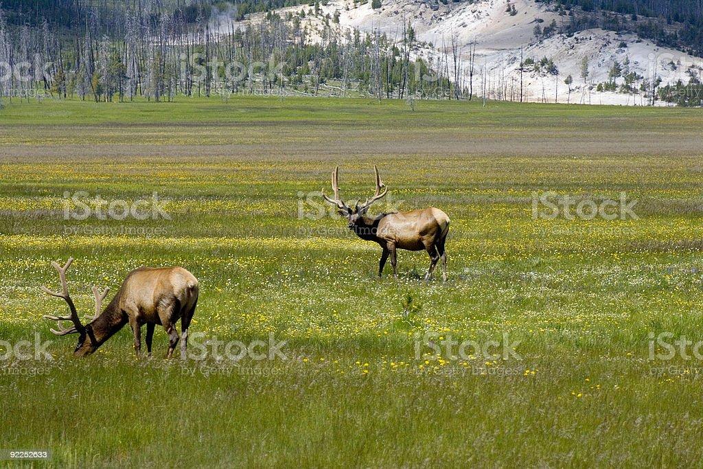 Elk 1 royalty-free stock photo