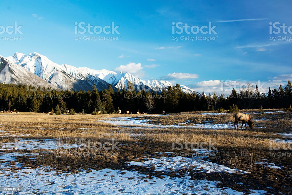 Elk and snow in the Rockies stock photo