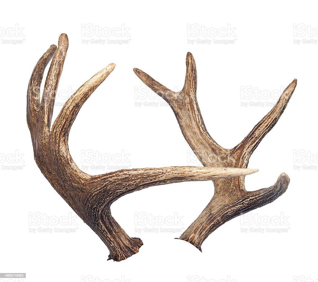Elk antlers. Isolated on white stock photo