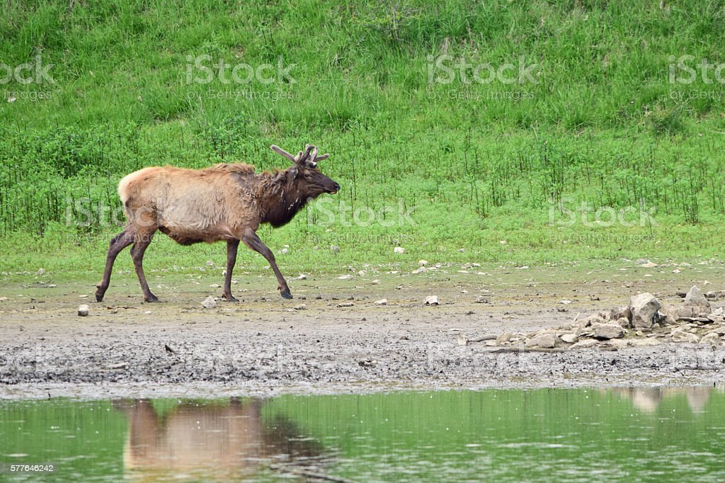 US elk at a lake in USA stock photo