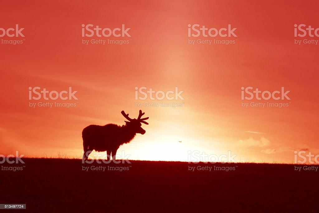 Elk at Sunset stock photo