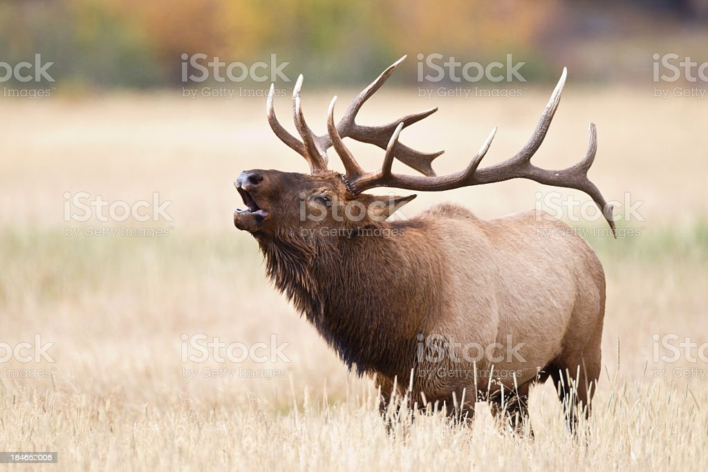 Elk bugling stock photo