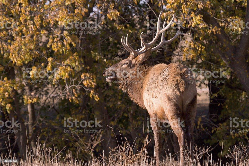 Elk Bugling royalty-free stock photo