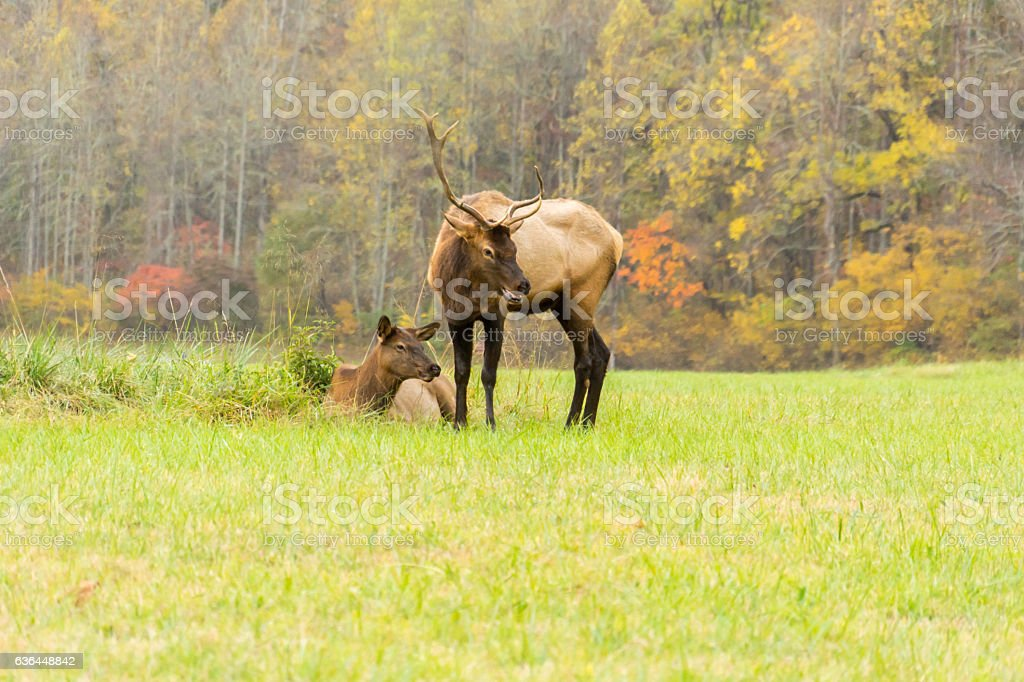 Elk Bull and an Elk Cow During the Rut stock photo