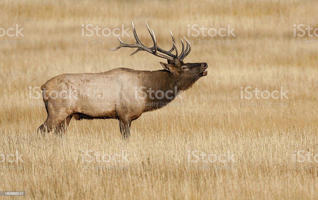 Elk Bull royalty-free stock photo