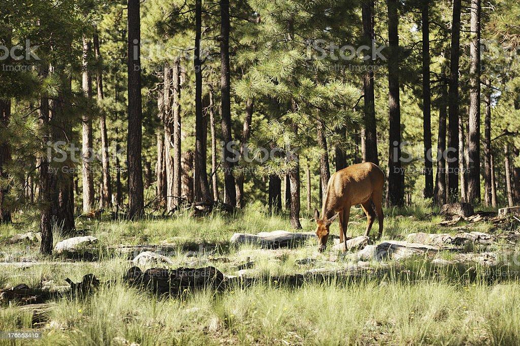 Elk Cervus canadensis Wildlife Feeding royalty-free stock photo