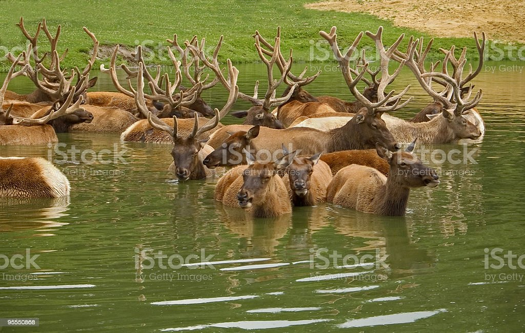 Elk Chilling royalty-free stock photo
