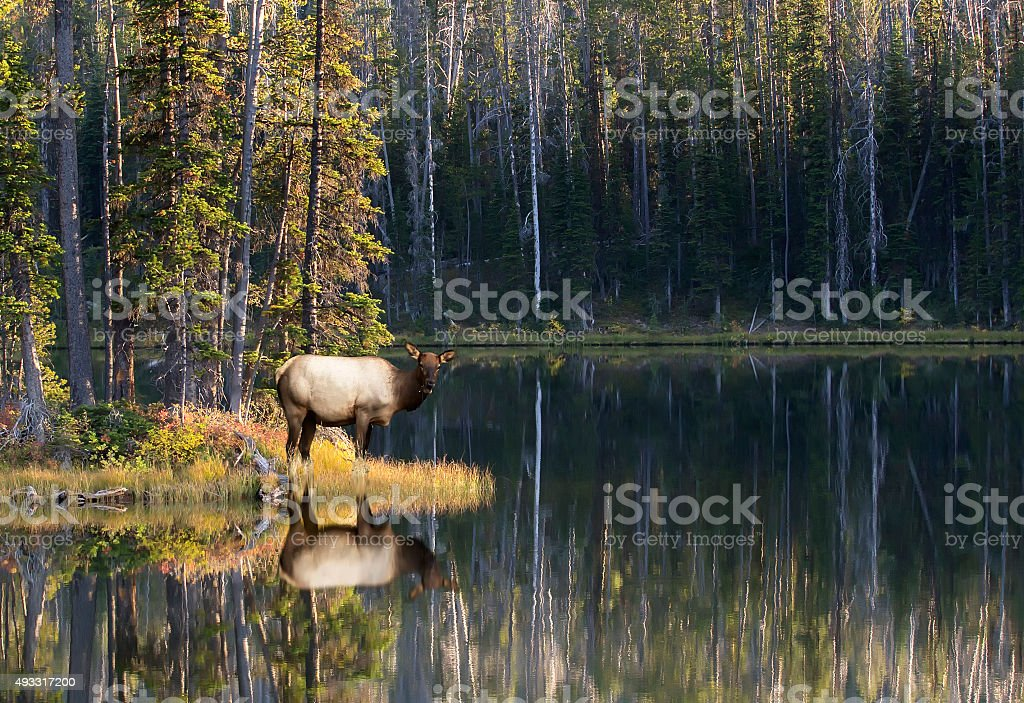 Elk cow stock photo