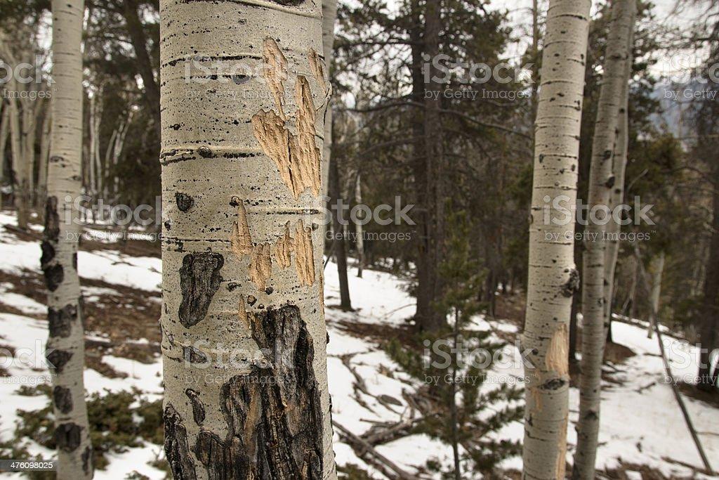 Elk damaged aspen tree Evergreen Colorado stock photo