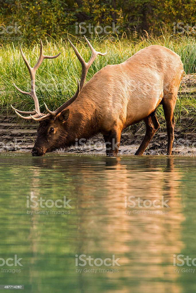 Elk drinking from a river stock photo