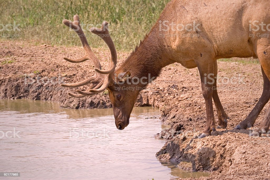 Elk Drinking royalty-free stock photo