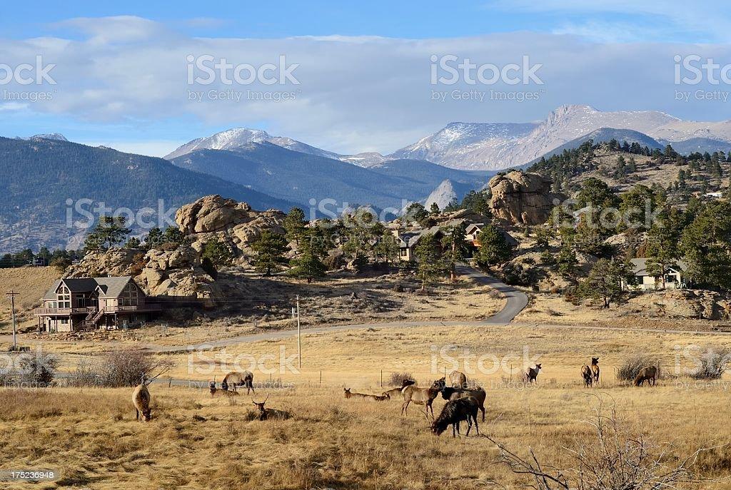 Elk, Estes Park, Colorado royalty-free stock photo
