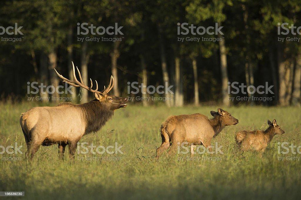 Elk family bull cow calf in Arkansas field royalty-free stock photo