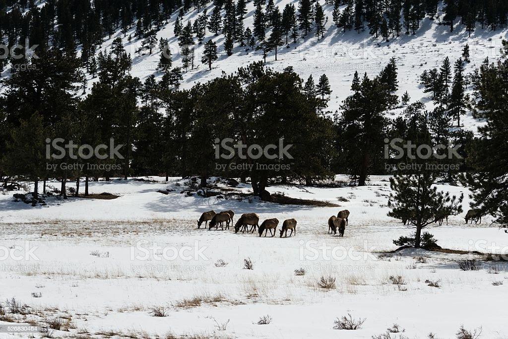 Elk Grazing in Winter, Rocky Mountain National Park stock photo
