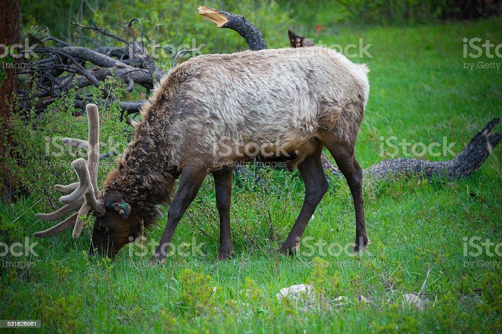 Elk Grazing, Rocky Mountain National Park stock photo