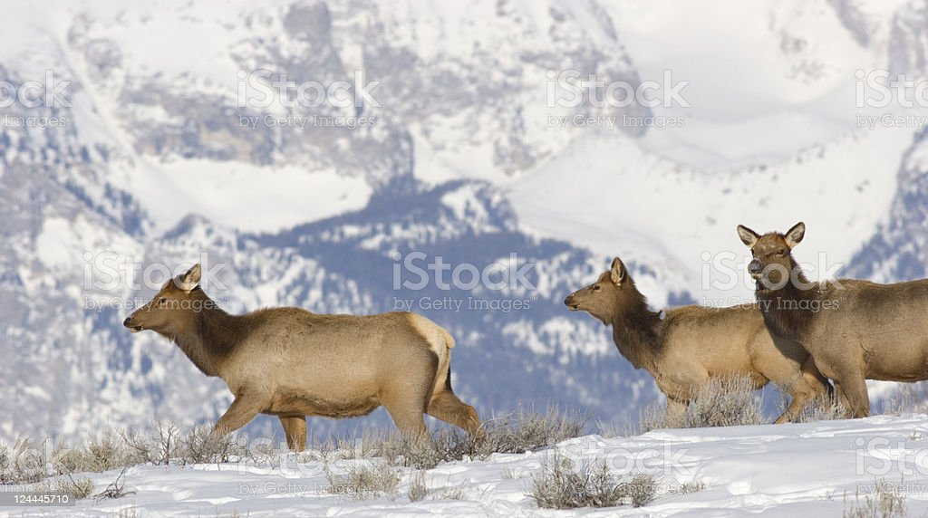 Elk Herd and Snow Covered Mountains stock photo