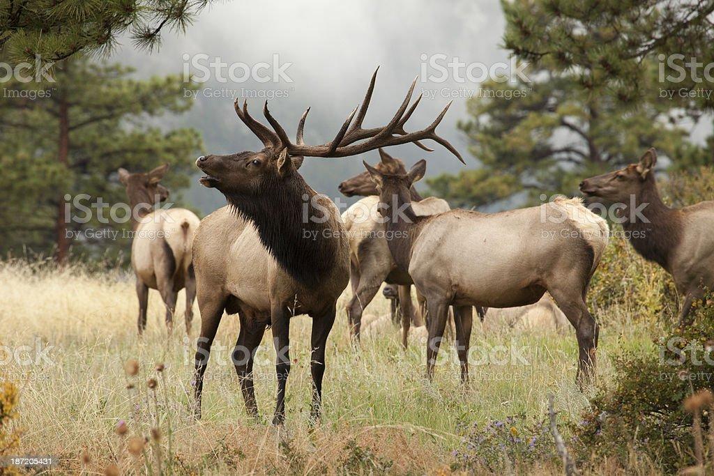 Elk herd in Colorado mountains stock photo