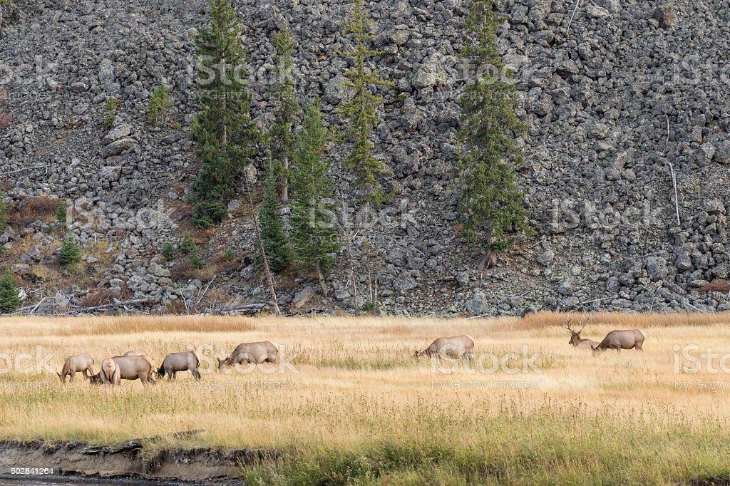 Elk Herd in Rut stock photo