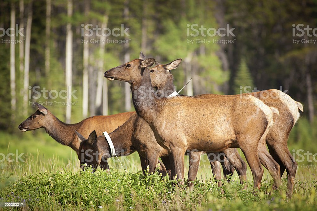 Elk Herd in The Canadian Rockies of Banff National Park stock photo