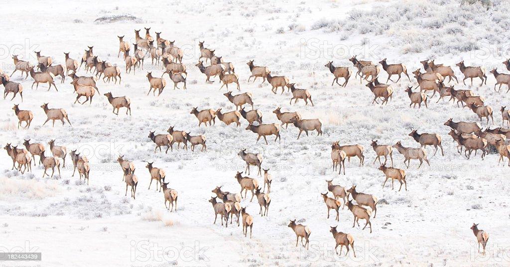 Elk herd. royalty-free stock photo