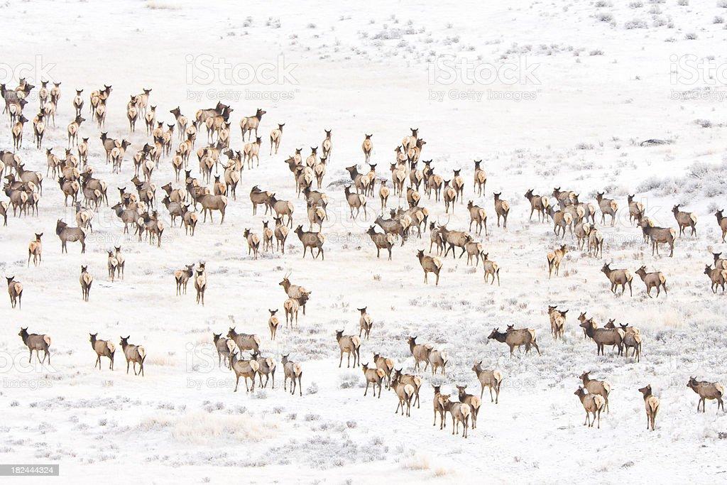 Elk herd. stock photo