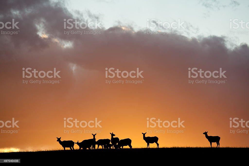 Elk Herd stock photo