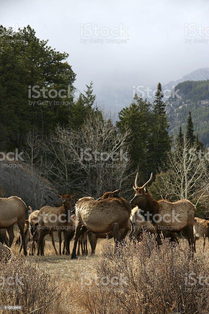 Elk herd royalty-free stock photo