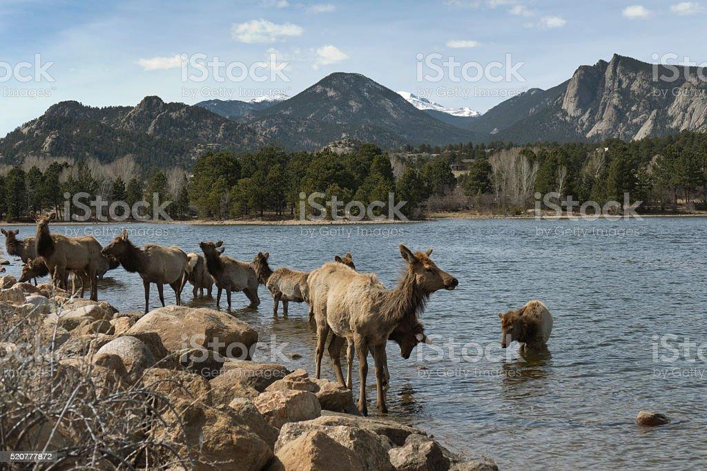 Elk herd wade Lake Estes water Rocky Mountains Colorado stock photo