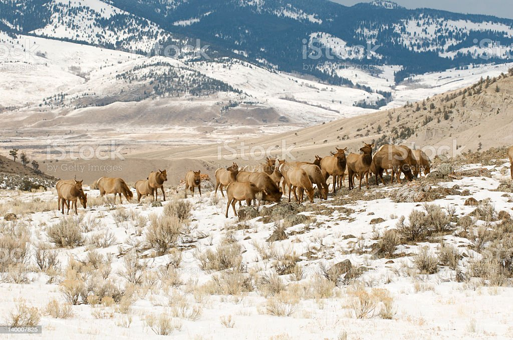 Elk herd Yellowstone National Park mountains stock photo