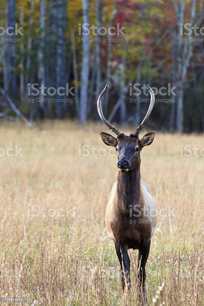 Elk in a Field stock photo