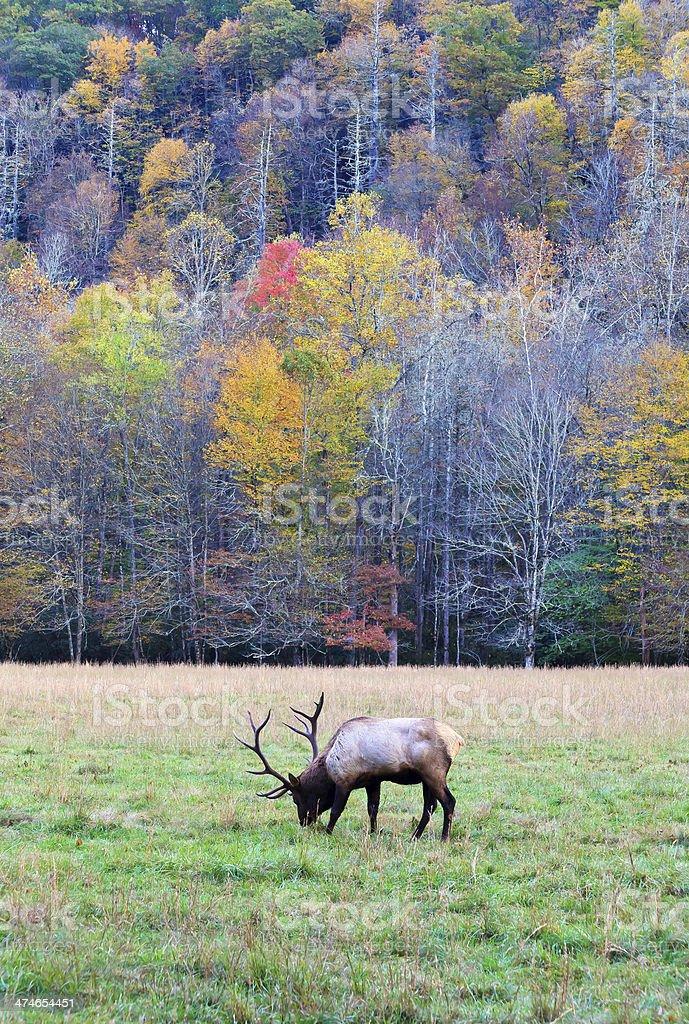 Elk in a Field royalty-free stock photo