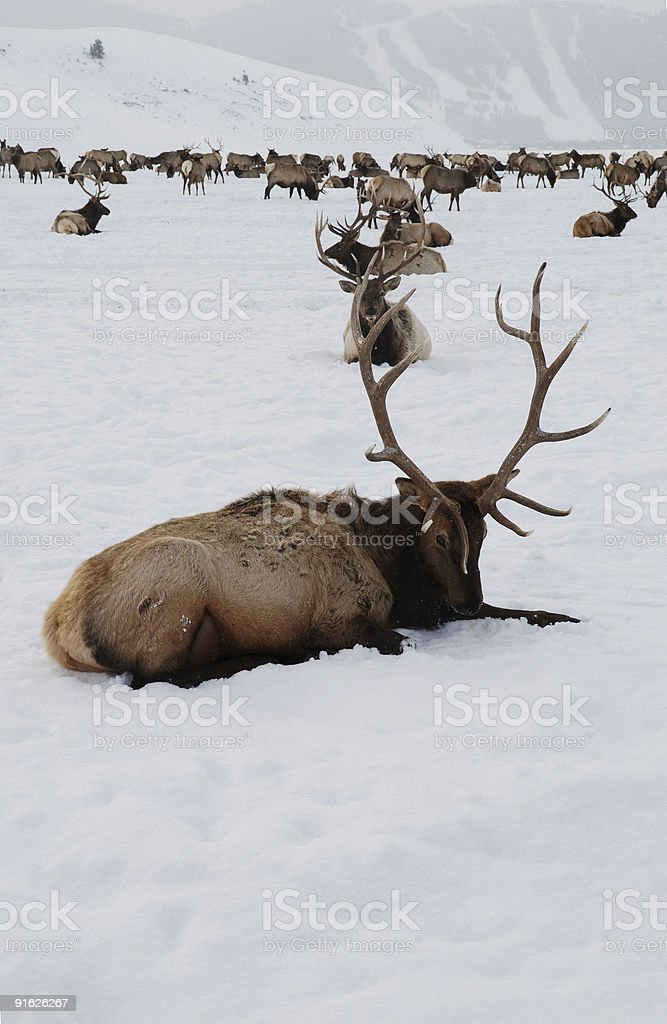 Elk in a snowstorm royalty-free stock photo