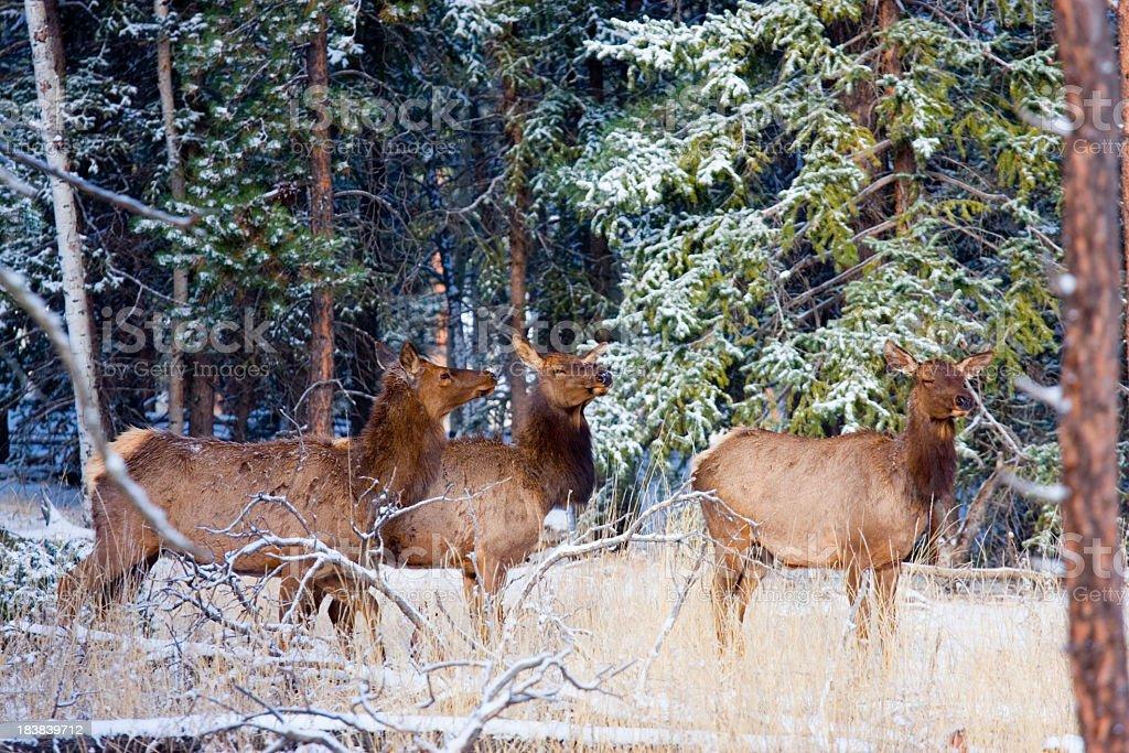 Elk in a Spring Snow stock photo