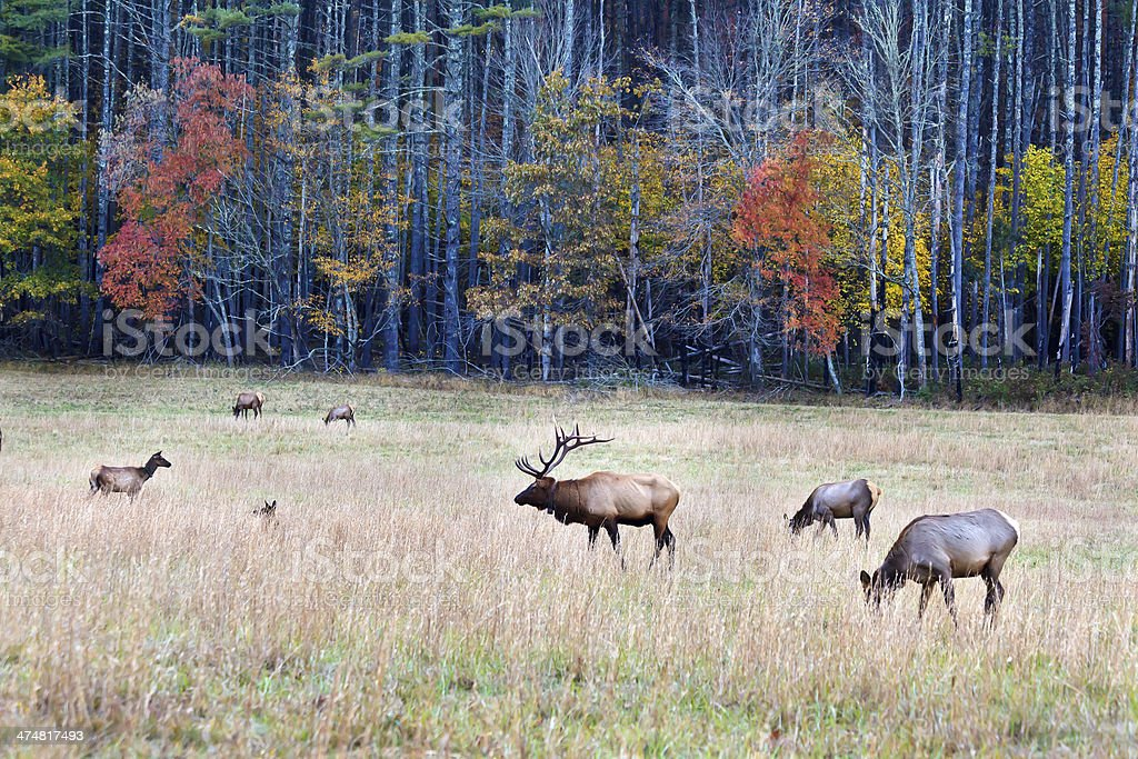 Elk in an Autumn Field stock photo