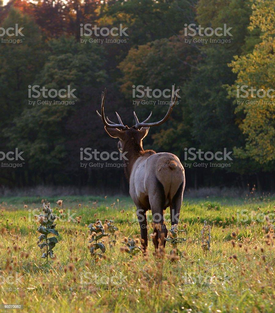 Elk In Autumn royalty-free stock photo